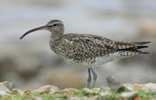 I Curlew