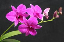 Butterfly Dendrobium